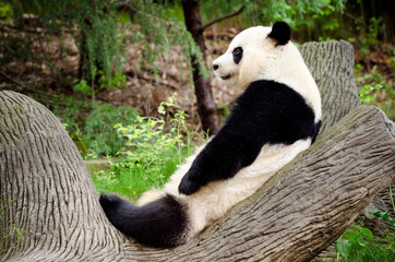 Giant panda resting on log