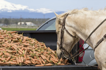 White horse eating carrots out of the bed of a truck