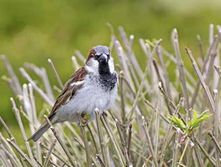 Male house sparrow in plumage on reeds