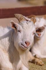 山羊のポートレート