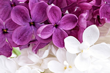 Poster de jardin Macro Beautiful Bunch of violet and white Lilac