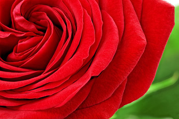 Foto op Aluminium Macro Beautiful red rose flower. Closeup.