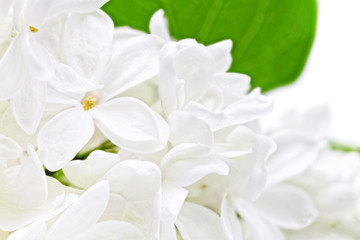 Foto op Aluminium Macro Beautiful white Lilac . Isolated over white .