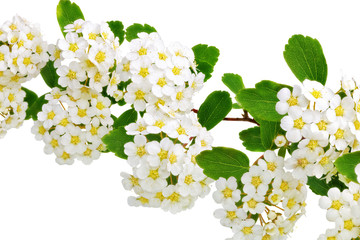 Poster Macro Beautiful white flowering shrub Spirea aguta (Brides wreath).
