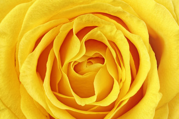 Poster de jardin Macro Beautiful yellow rose flower. Сloseup