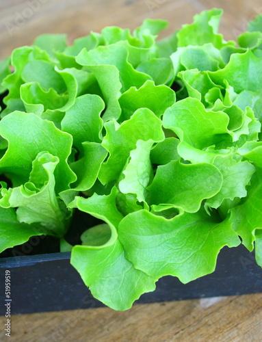 plants de salade batavia en barquette photo libre de droits sur la banque d 39 images. Black Bedroom Furniture Sets. Home Design Ideas