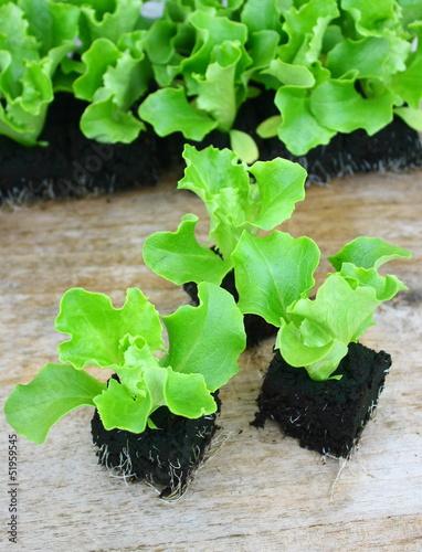 plants de salade batavia photo libre de droits sur la banque d 39 images image 51959545. Black Bedroom Furniture Sets. Home Design Ideas