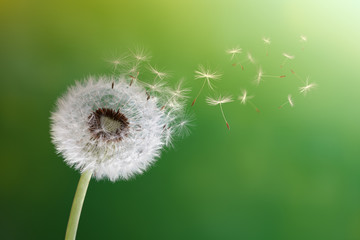 Photo sur Toile Pissenlit Dandelion clock in morning sun