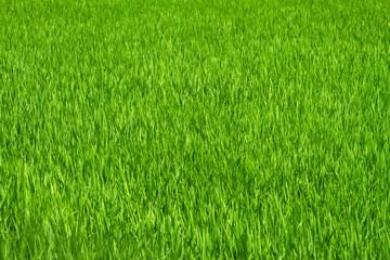 Green grass rice field background