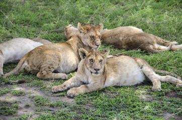Jung lions