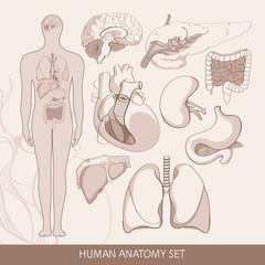 Vector set of human  organs