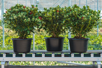 Three skimmia plants on a conveyor belt ready for export