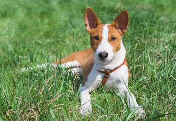 Little Basenji puppy having rest on a grass at sunny day.