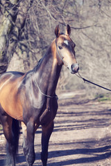 beautiful ahalteke  stallion in spring forest