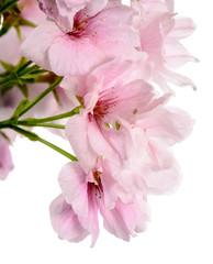 Hananmit / Nahaufnahme Japanische Kirschblüten