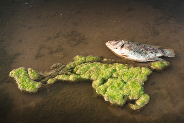 Dead fish in the water algae.