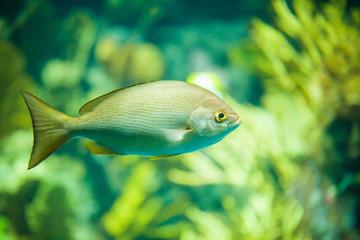 The yellow fish drifts among corals at the aquarium