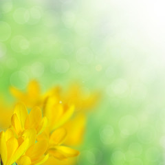 Yellow crocus on the blurred background