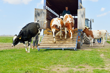 catlle of cows jumping out of transport truck in meadow