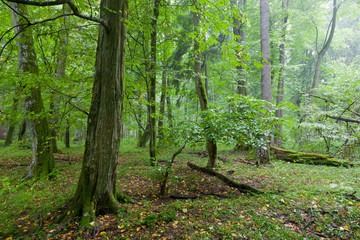 Rich deciduous stand in rain