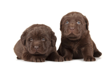 Fotobehang - Two Chocolate Labrador Retriever Puppies
