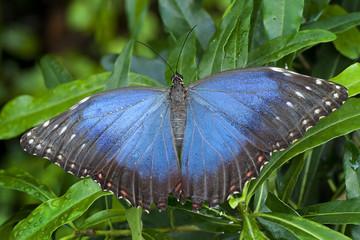 Blue Morphus butterfly