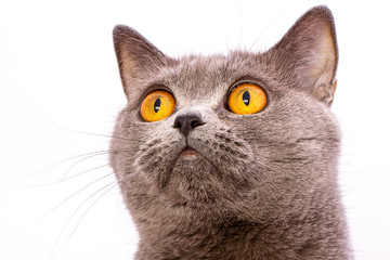 British shorthair gray cat with bright yellow eyes isolated on a