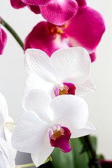 flower white and pink orchids