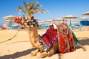 Printed roller blinds Egypt Camel resting in shadow on the beach of Hurghada, Egypt