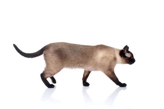 Siamese cat isolated on white background
