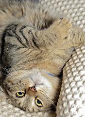 Highland Lynx Cat