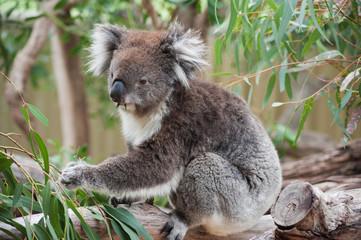 native Australian Koala