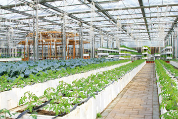Soilless cultivation green vegetables in an agricultural plantat