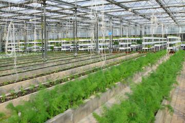 Asparagus grown in modern agricultural production workshop
