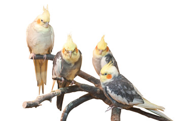 group of cockatiels, isolated on white