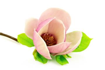 Obraz Magnolia na białym tle - fototapety do salonu