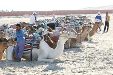 Canvas Prints Tunisia Camels lieing down