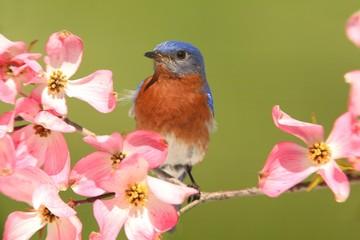 Fotoväggar - Bluebird with Dogwood flowers