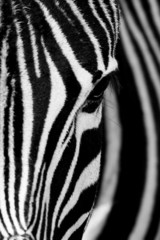 Face of the Zebra - fototapety na wymiar