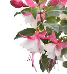 Pink And White Fuchsia