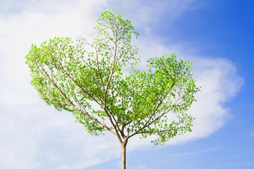 Terminalia ivorensis tree