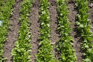coltivazione di insalata biologica