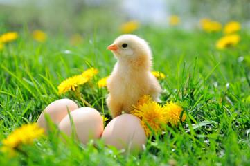 Beautiful little chicken on green grass