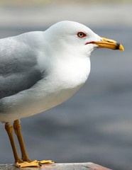 White Seagull Close Up Composition Showing Yellow Beak