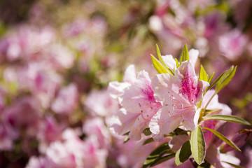 Beautiful Pink Flowers Blooming in Spring