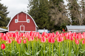 vivid pink tulip field and farmer barn