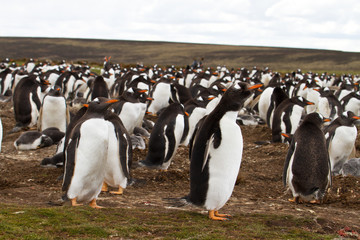 Gentoo penguin colony, falkland islands