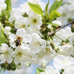 Fototapete - Kirschblüten Frühling