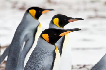 Three King penguins walking on the beach closeup