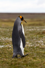 King Penguin walking on the grass